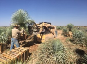 Yucca farming