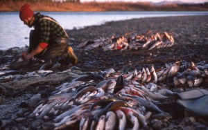 """""""Fall harvest of fish for people and sled dogs to travel the country with in Alaska."""" -Bruce Lee"""