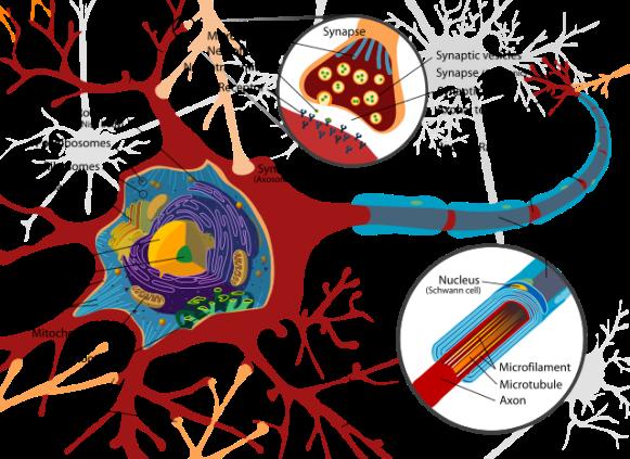 neuron_cell_diagram