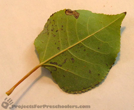 fresh leaf for leaf rubbing art