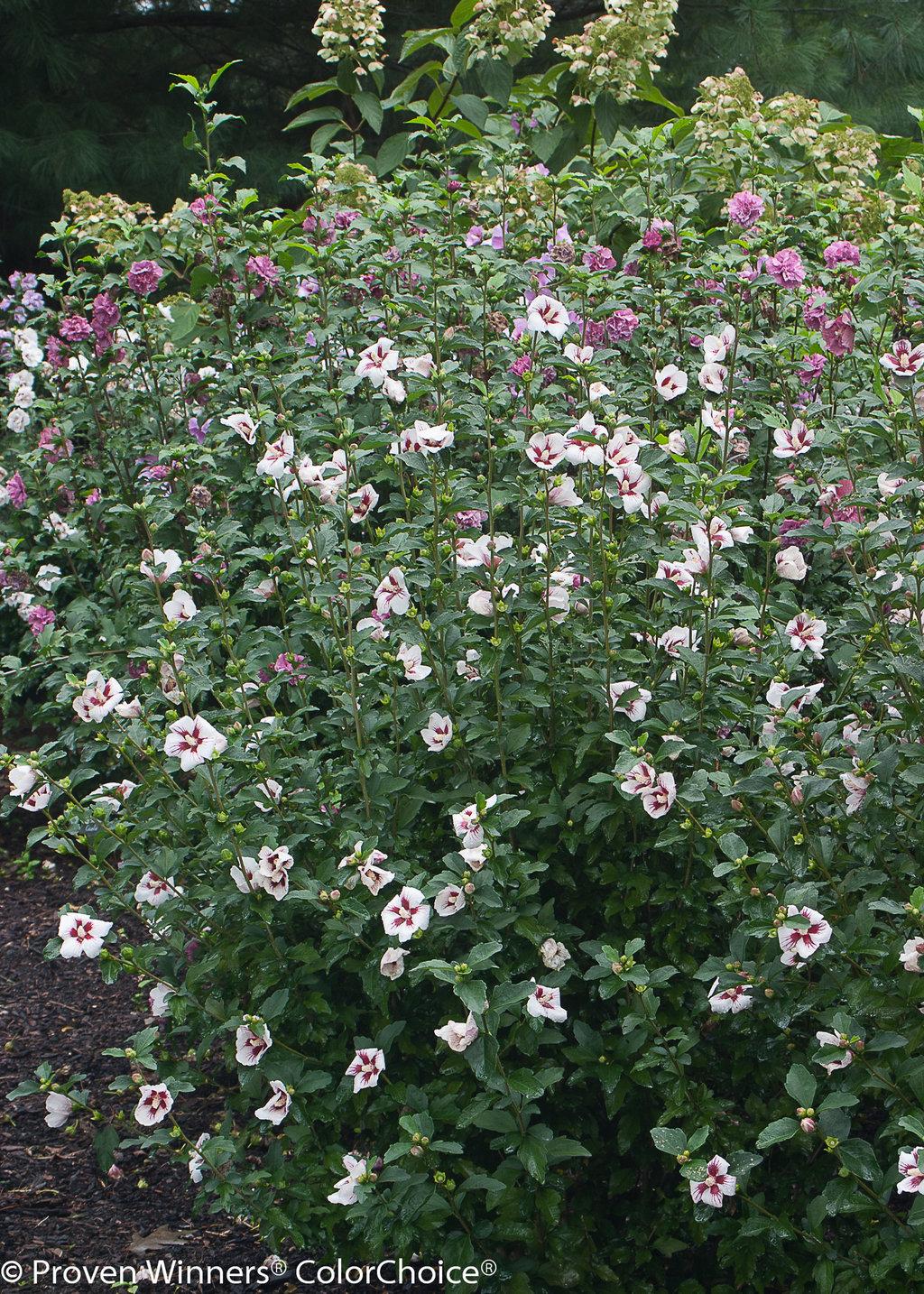 Fullsize Of Rose Of Sharon Hedge
