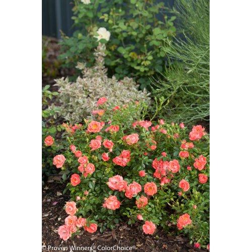 Medium Crop Of Ground Cover Roses