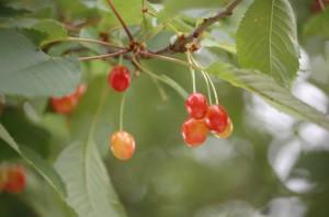 Körsbärsträd i närbild.
