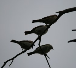 Small Of Birds On A Branch