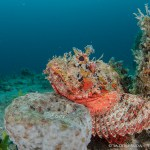 Scorpion fish Palm Beach
