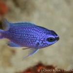 purple reeffish: Chromis scotti
