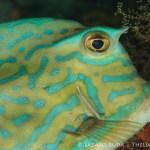 scrawled cowfish: Acanthostracion quadricornis
