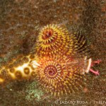 Christmas tree worm: Spirobranchus giganteus < Serpulidae