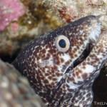 spotted moray: Gymnothorax moringa