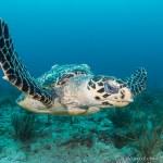 Resident hawksbill sea turtle