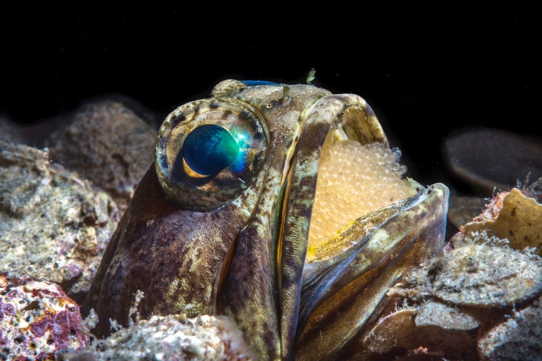 Jawfish With Eggs by Wayne MacWilliams 2