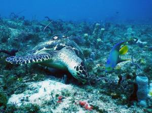 A tagged Hawksbill sea turtle munches next to an Angelfish on Mid Reef.