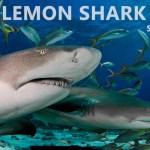FEB 11: LEMON SHARK DIVES