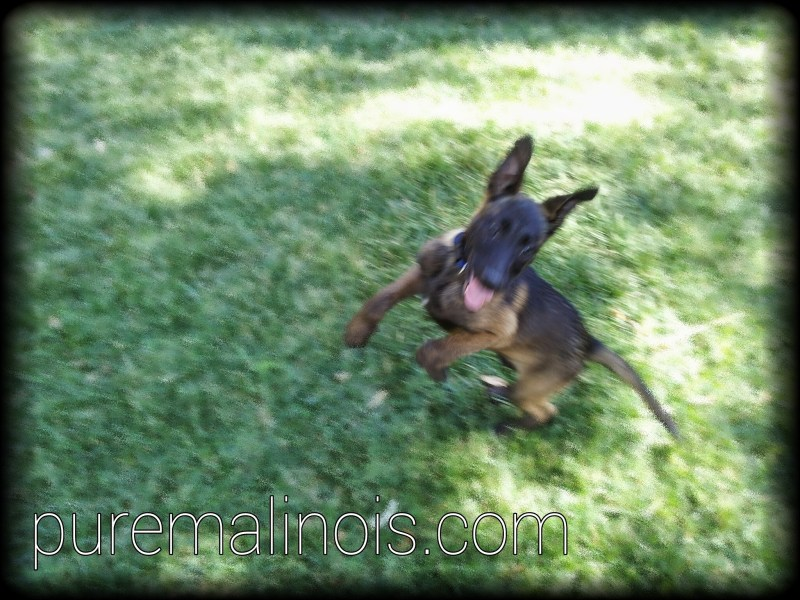 Belgian Malinois Breeders Arizona