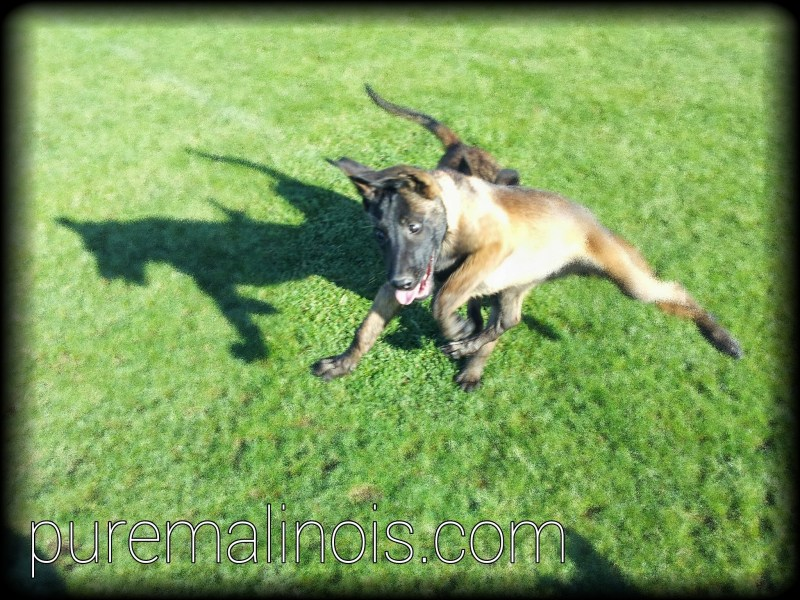 Belgian Malinois Breeders in Oregon 2