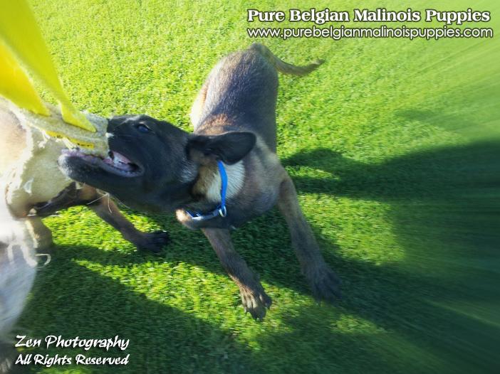 Belgian Malinois Breeders in Sacramento