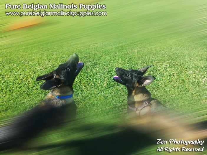 Belgian Malinois Puppies Breeders California 2