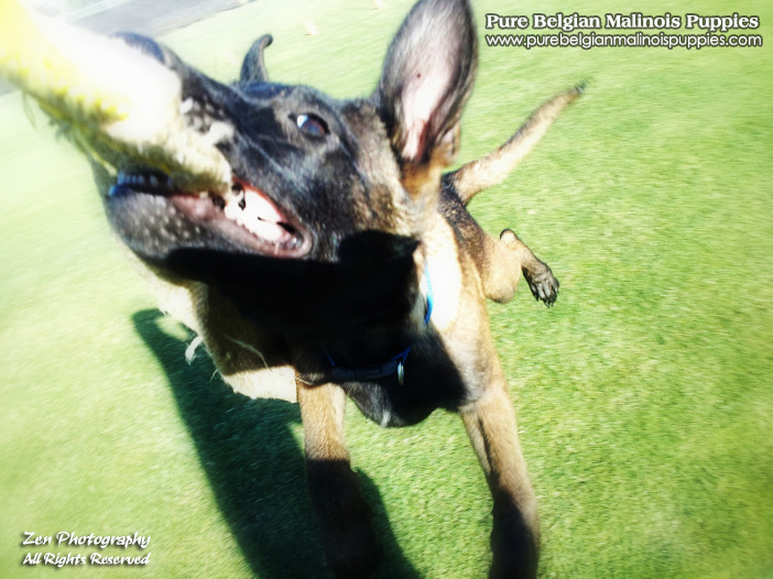Belgian Malinois Puppies for Sale in Sacramento