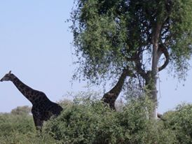 giraffes-in-wild