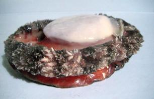 Brownlip Abalone