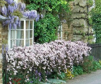 planting clematis. clematis grown up fence