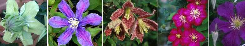 Beginners guide for planting and pruning clematis