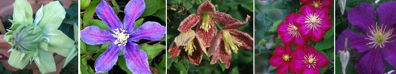 Beautiful Clematis plants