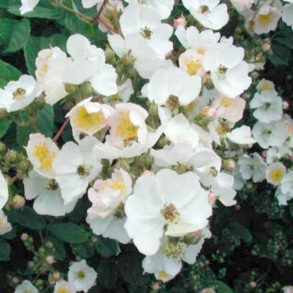Rambling Rector white rambling rose ideal for climbing up walls and fences, is also good for cut flowers and has average disease resistance.