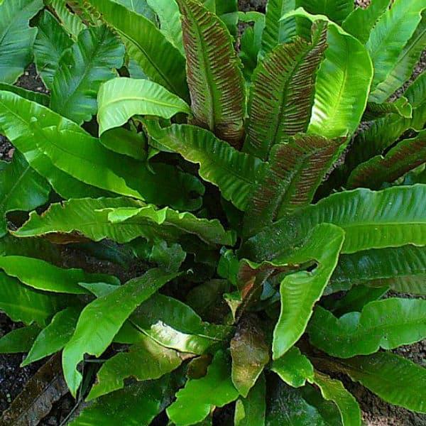 Asplenium scolopendrium fern ideal for dry shade