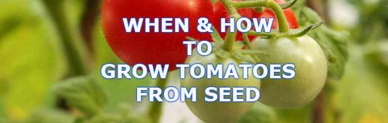 Growing tomato plants from seed