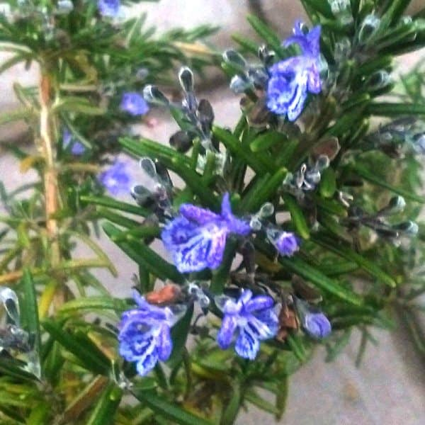 how to prune rosemary to form a dense compact plant