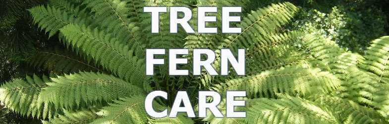 Tree fern care and growing tips for this beautiful architectural plant