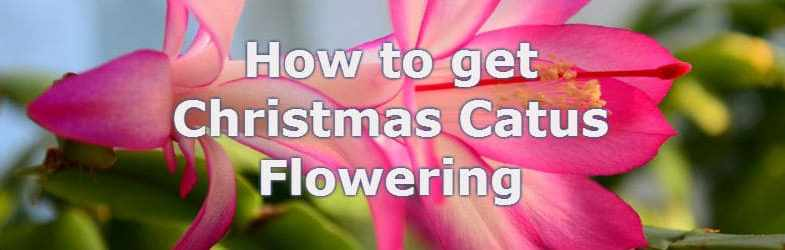 How to get a christmas cactus flowering