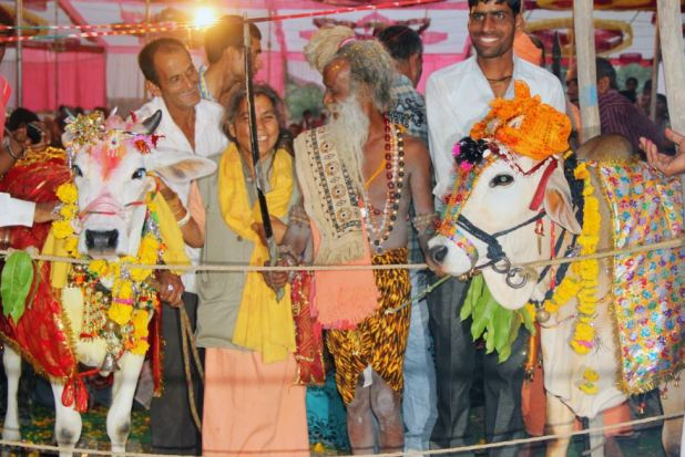 Cow And Bull Married In Lavish £10,000 Indian Wedding