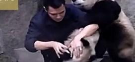 فيديو: طريف لدببة باندا تقاوم أخذ الدواء !