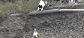 فيديو: قطة تخاطر لإنقاذ صغيرها بعد سقوطه في موقع بناء