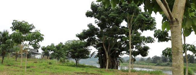 Funcionario de Áreas Verdes desmiente el corte de árboles en la Ruta del Río