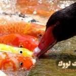بالفيديو .. بطة تطعم الأسماك