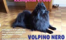 SOS ANIMALI - Smarrito volpino a Massa