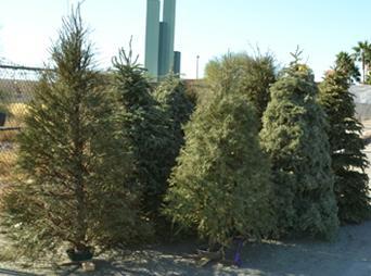 Si eres de las personas que te gustan los arbolitos navideños naturales, debes informarte sobre cómo desechar tu pino navideño.