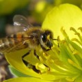 Honey Bee on Winter Aconite Source: Tie Guy II/ flickr