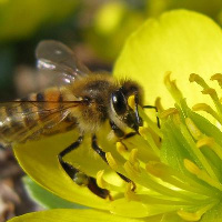 Bees: The Threatened Link in Food Security ENCORE