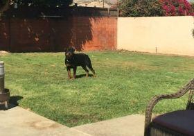 H practices his airborne catch.  #rottweiler #dogsofinstagram #dogaunt #friyay [instagram]