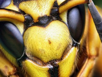 FEATURED - 1024px-Face_of_a_Southern_Yellowjacket_Queen_(Vespula_squamosa)_edit
