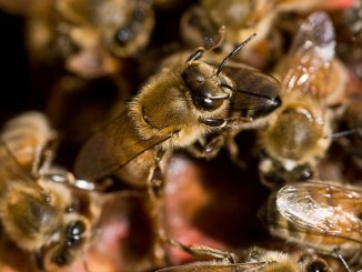 Photo credit: CSIRO_ScienceImage_6897_Worker_honey_bees. WIkimedia. Cropped. CSIRO [CC BY 3.0 (http://creativecommons.org/licenses/by/3.0)], via Wikimedia Commons