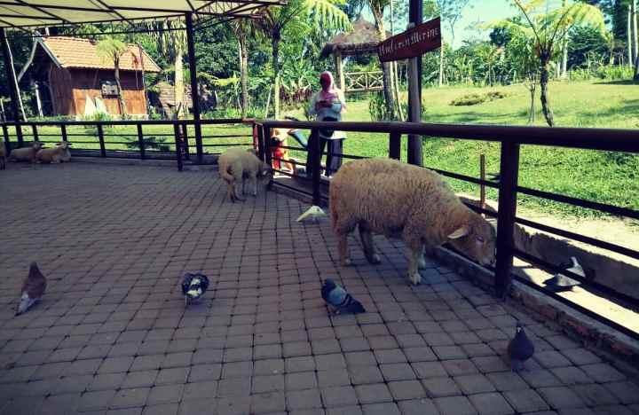 6. kandang kambing domba