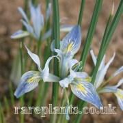 Iris vartanii