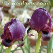 Iris barnumae protonyma Khoy