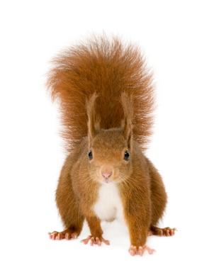 squirrel-xsmall