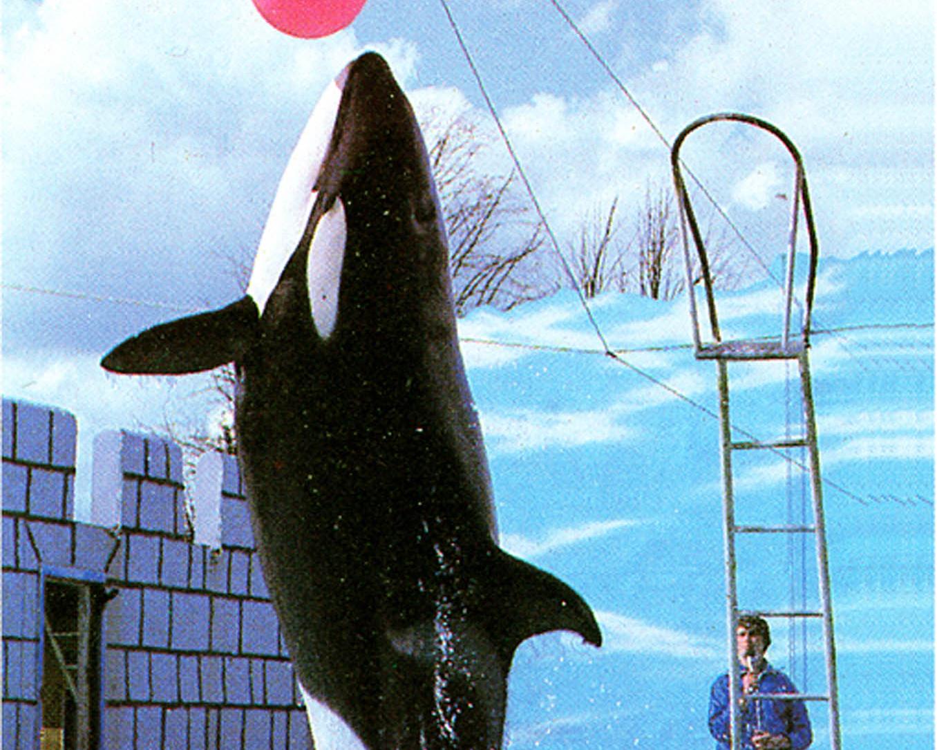Orca, Windsor Safari Park, Berkshire